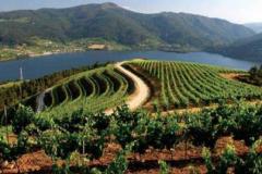 Ruta del Vino de Ribeiro. vinedos