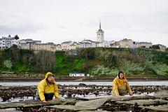 ostras-cultivo